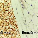 бурый и белый жир в организме человека