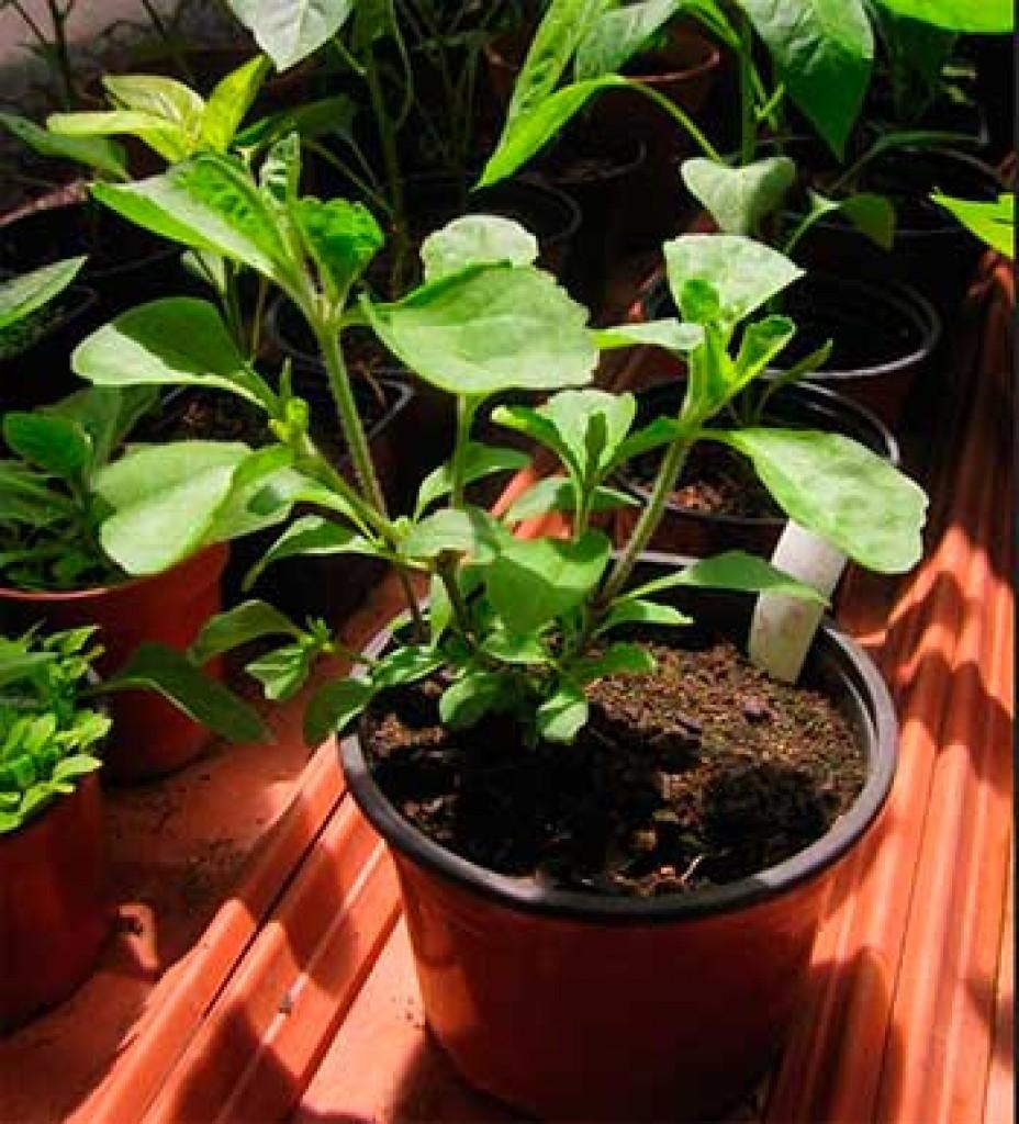 Когда и как выращивать стевию в домашних условиях 692