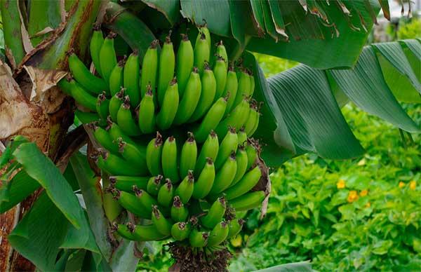 гроздь зеленых бананов