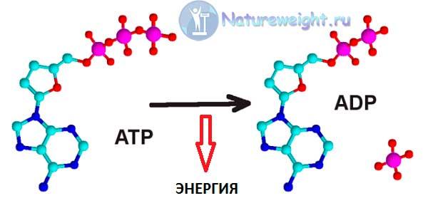 Схема перехода ATP в ADP