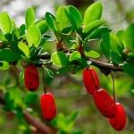 ветка барбариса с ягодами