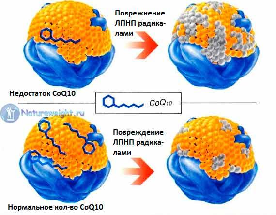 Защита липопротеинов низкой плотности от окисления коэнзимом Q10