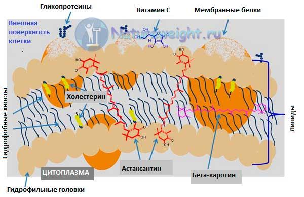 схема работы астаксантина в мембране клетки
