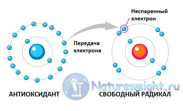 схема работы антиоксидантов