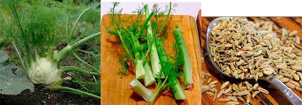 луковица, стебли и семена фенхеля