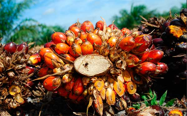 плоды пальмы