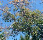 Авокадо – польза и вред для организма, как едят в сыром виде