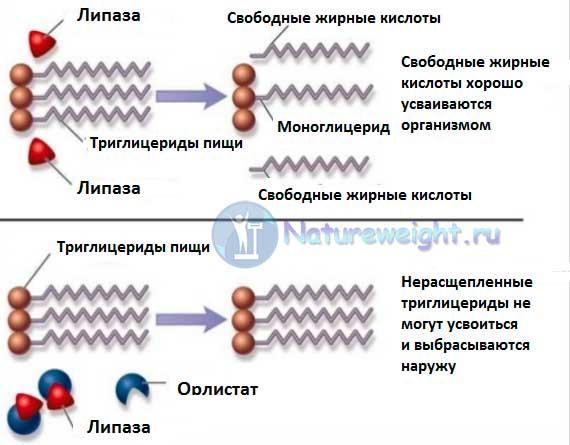 схема работы блокатора фермента липазы Орлистата