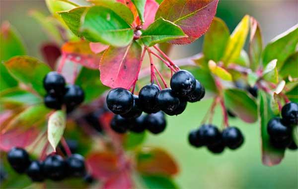 Полезно употреблять в пищу черноплодную рябину
