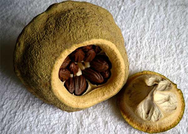 Бразильский орех: неужели противопоказания сильнее полезных свойств?