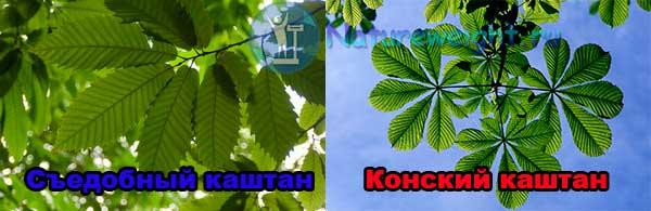 отличие листьев съедобного каштана от конского