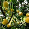 Сравниваем пользу и вред фрукта помело для здоровья. Что побеждает?