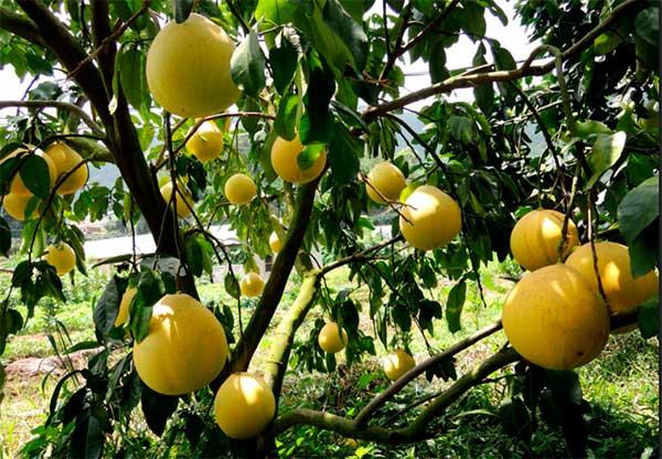 плод Cītrus māxima