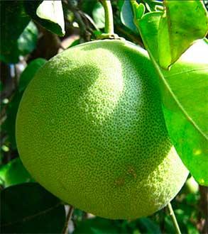 плод помело на ветке