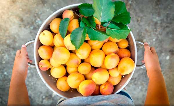ведро абрикосов