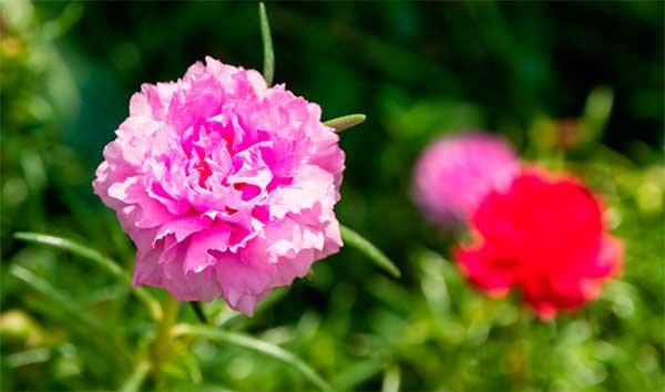 цветок амаранта