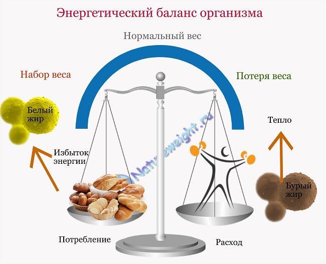 Энергетический баланс организма на основе работы бурого и белого жира