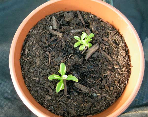 Проростки стевии из семян