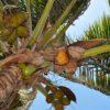 Почему кокосовый сахар вреден для здоровья также, как обычный?