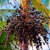 В чем заключаются полезные свойства ягод асаи?