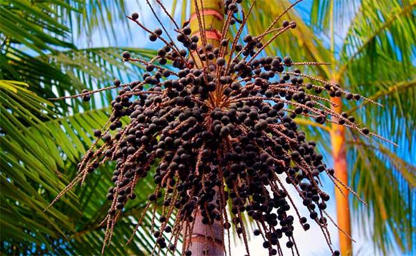 пальма Эвтерпа с плодами