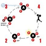 Схема пополнения запаса клеточного АТР при помощи креатина