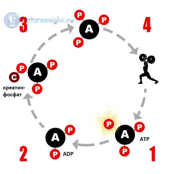 Схема пополнения запаса клеточного АТР