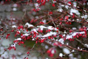 ветки барбариса в снегу