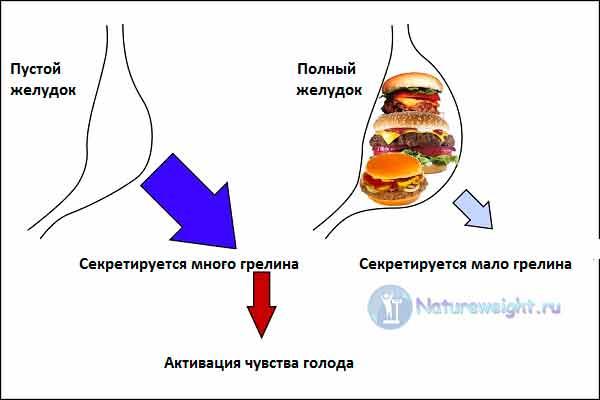 Как работает гормон голода грелин - схема