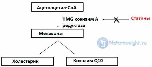 Принцип биологического влияния статинов - схема