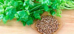 зелень кинзы и семена кориандра