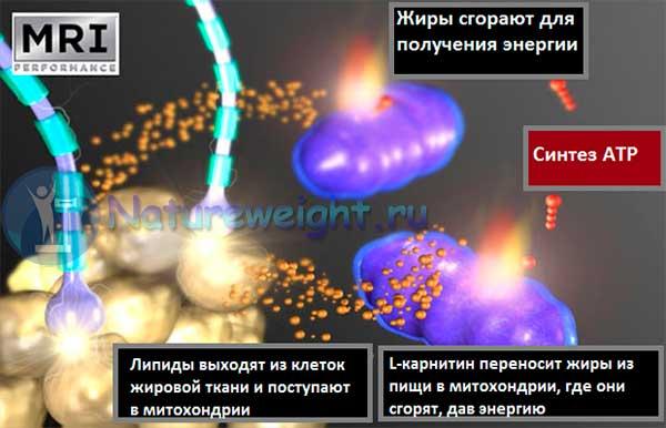 Схема влияния L-карнитина на организм
