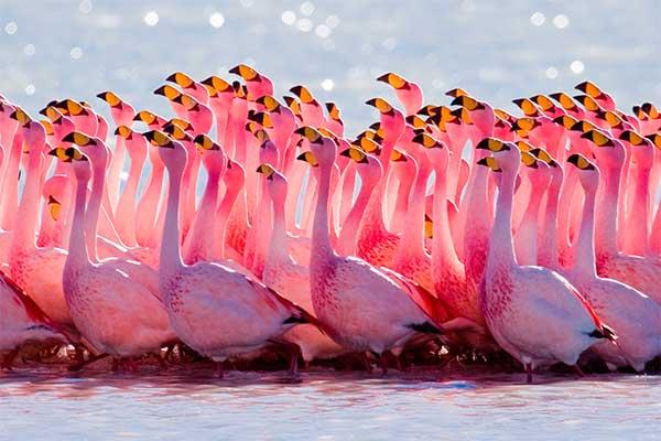 Фламинго в воде