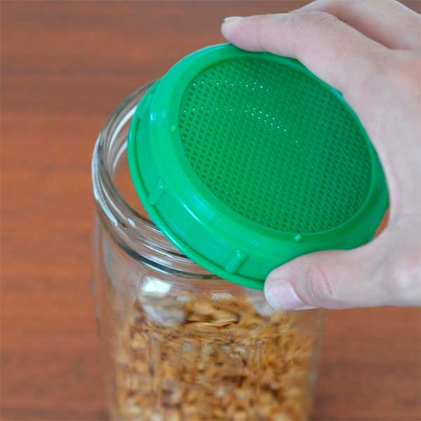 зерна полбы в контейнере для проращивания