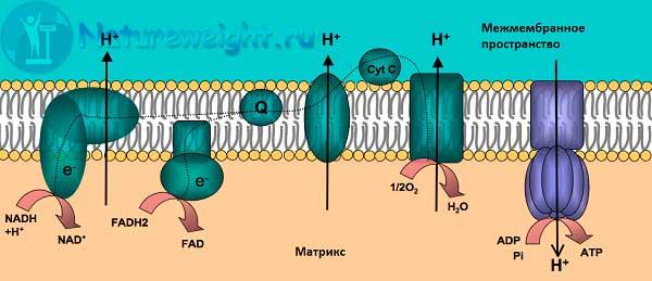 схема работы митохондриальной цепи