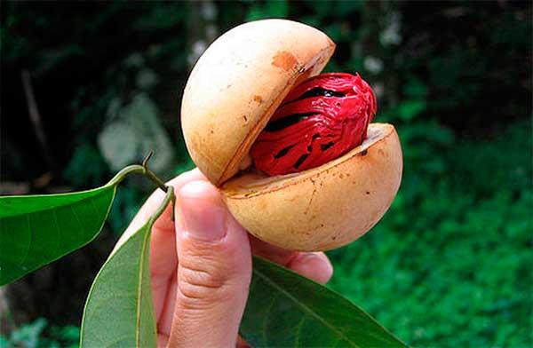 плод с семенем мускатного ореха