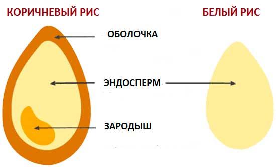 рисунок, показывающий строение рисового зерна