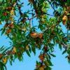 Польза и вред орехов миндаля для женщин и мужчин