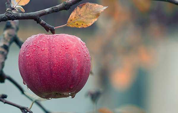 одно яблоко на ветке