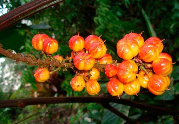 плоды гуараны на ветке