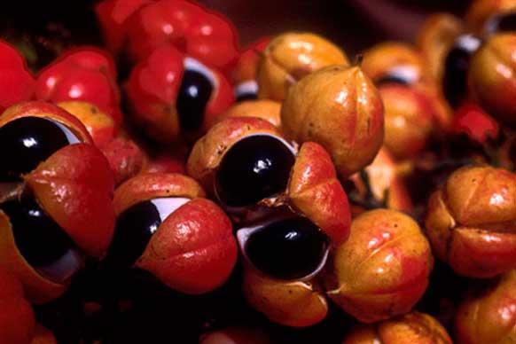плоды гуараны