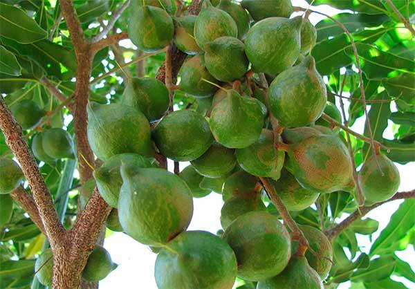 Что такое орехи макадамия, каковы их польза и вред для здоровья