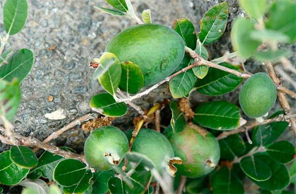 Как есть фейхоа, чтобы фрукт явил все полезные свойства и не нанес вреда