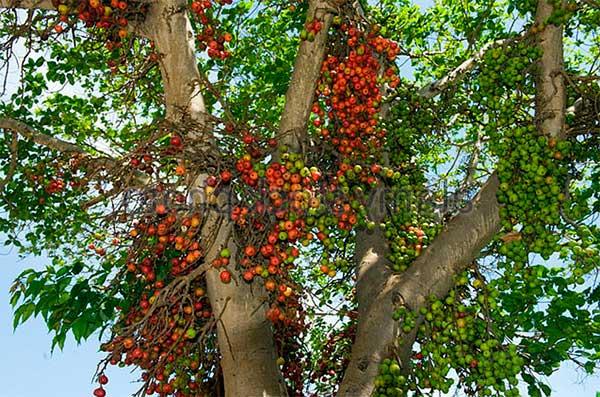 Фиговое дерево с плодами