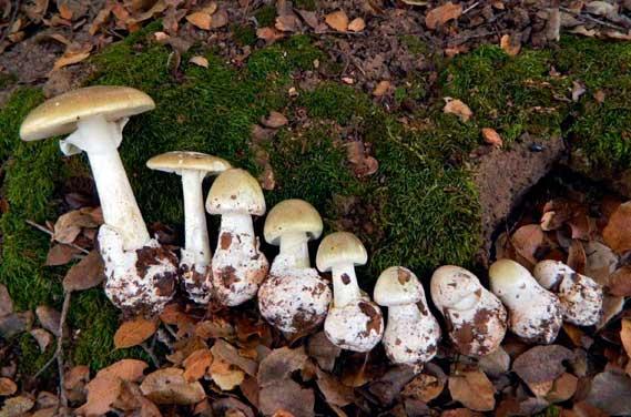 Сравнение пользы и вреда грибов шампиньонов: актуальная научная информация