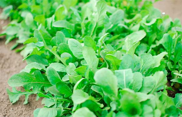 Что такое салат руккола, в чем его польза, а в чем вред