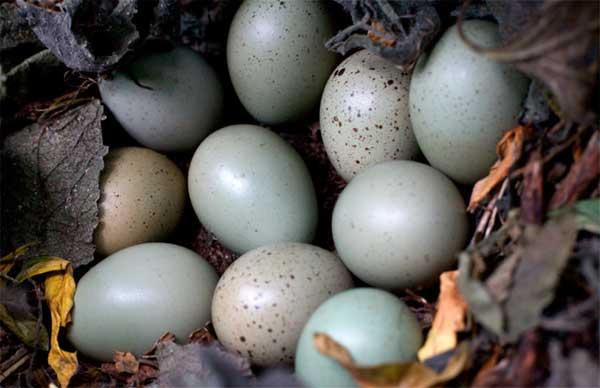 Почему у перепелиных яиц нет вреда, а одна лишь польза для женщин и мужчин?