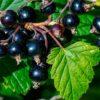 Польза черной смородины, при каких условиях она наносит вред здоровью