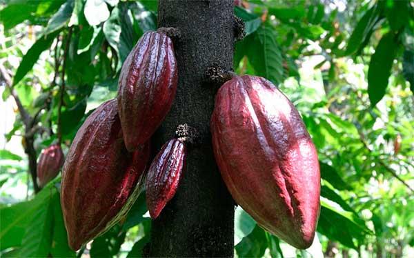 плоды какаового дерева