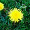 Лечебные свойства листьев одуванчика и противопоказании для их употребления